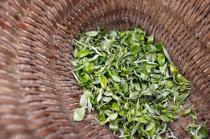 Những búp trà shan tuyết cổ thụ, nếu nhìn kỹ bạn thấy có một lớp lông mao màu trắng được bao phủ