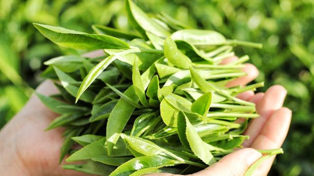 Nguyên liệu 1 tôm + 3 lá non làm nên trà búp nõn thái nguyên thơm ngon