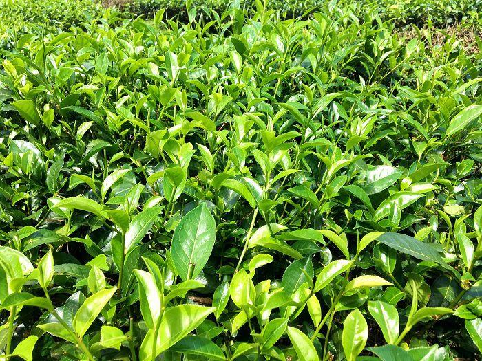 Nguyên liệu làm trà búp tân cương thái nguyên được thu hái trên vùng trồng chè tân cương thái nguyên