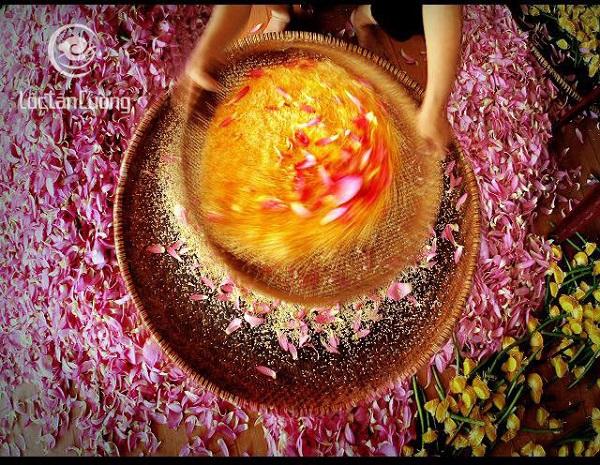 Sản xuất trà ướp sen Hồ Tây là một quá trình kì công