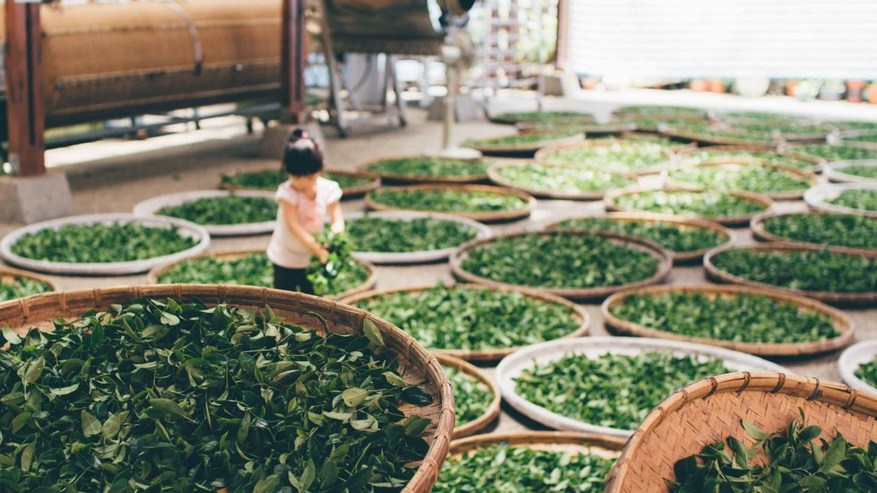 Giai đoạn làm héo trà đinh thái nguyên