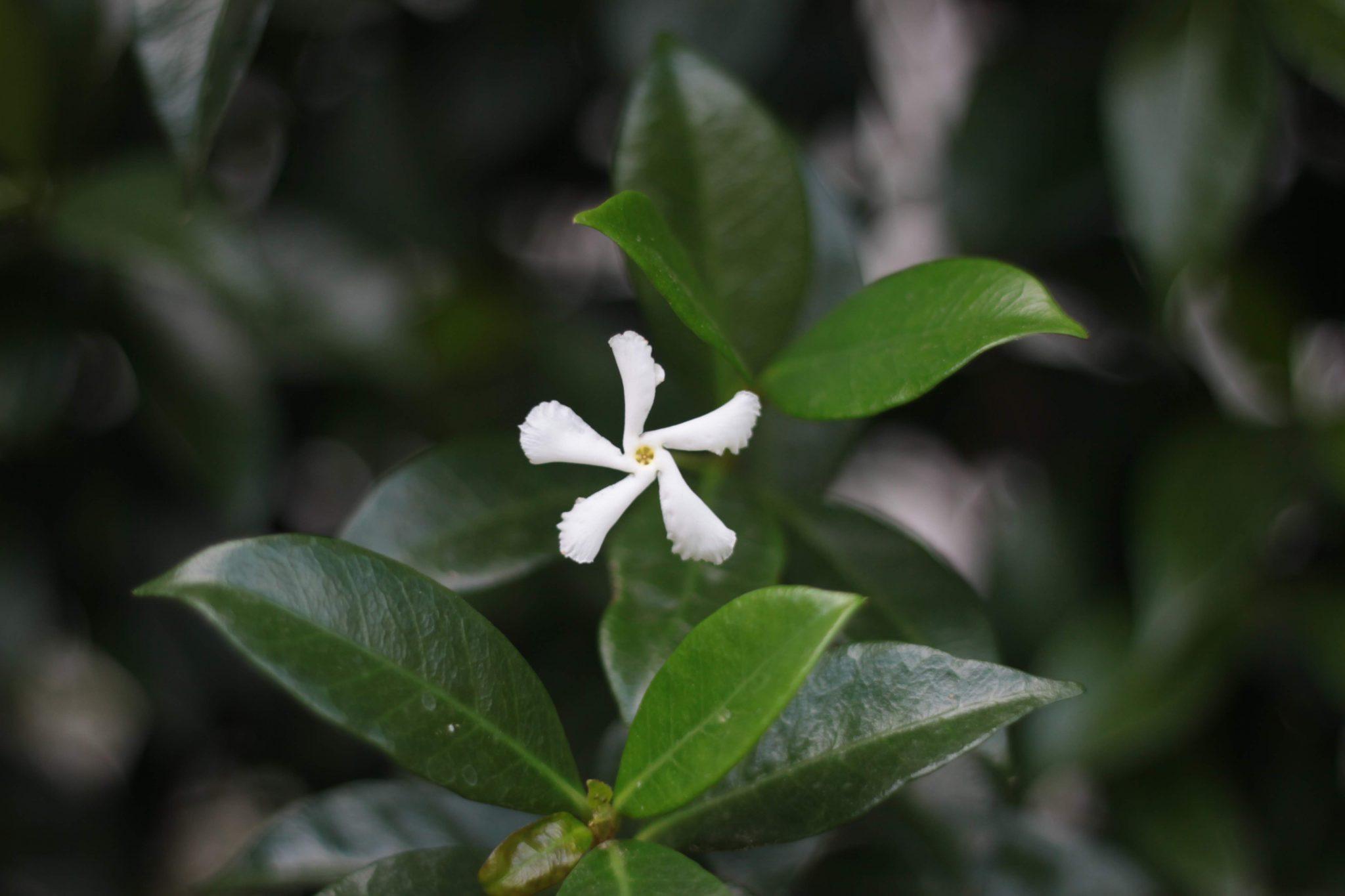 Hoa lài hay hoa nhài có mặt ở nhiều nơi trên thế giới với nhiều hình thái và chủng loại khác nhau