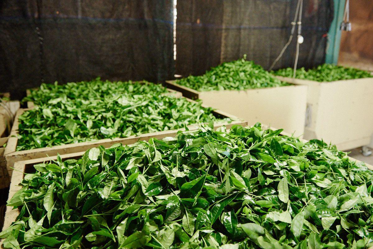 (hình ảnh minh họa) Nguyên liệu sản xuất trà nõn tôm