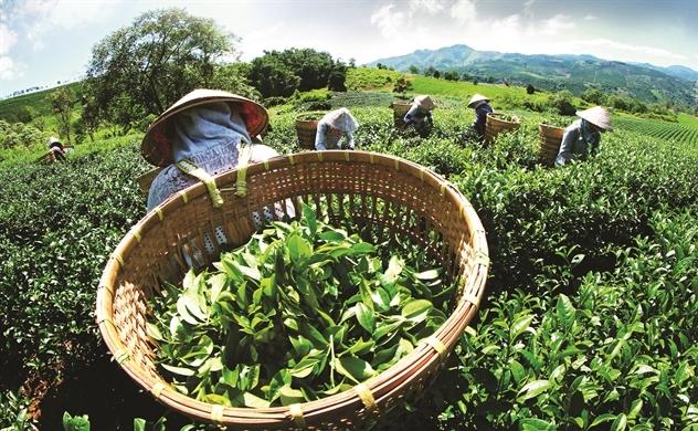 Người dân thu hái trà tươi vào sáng sớm