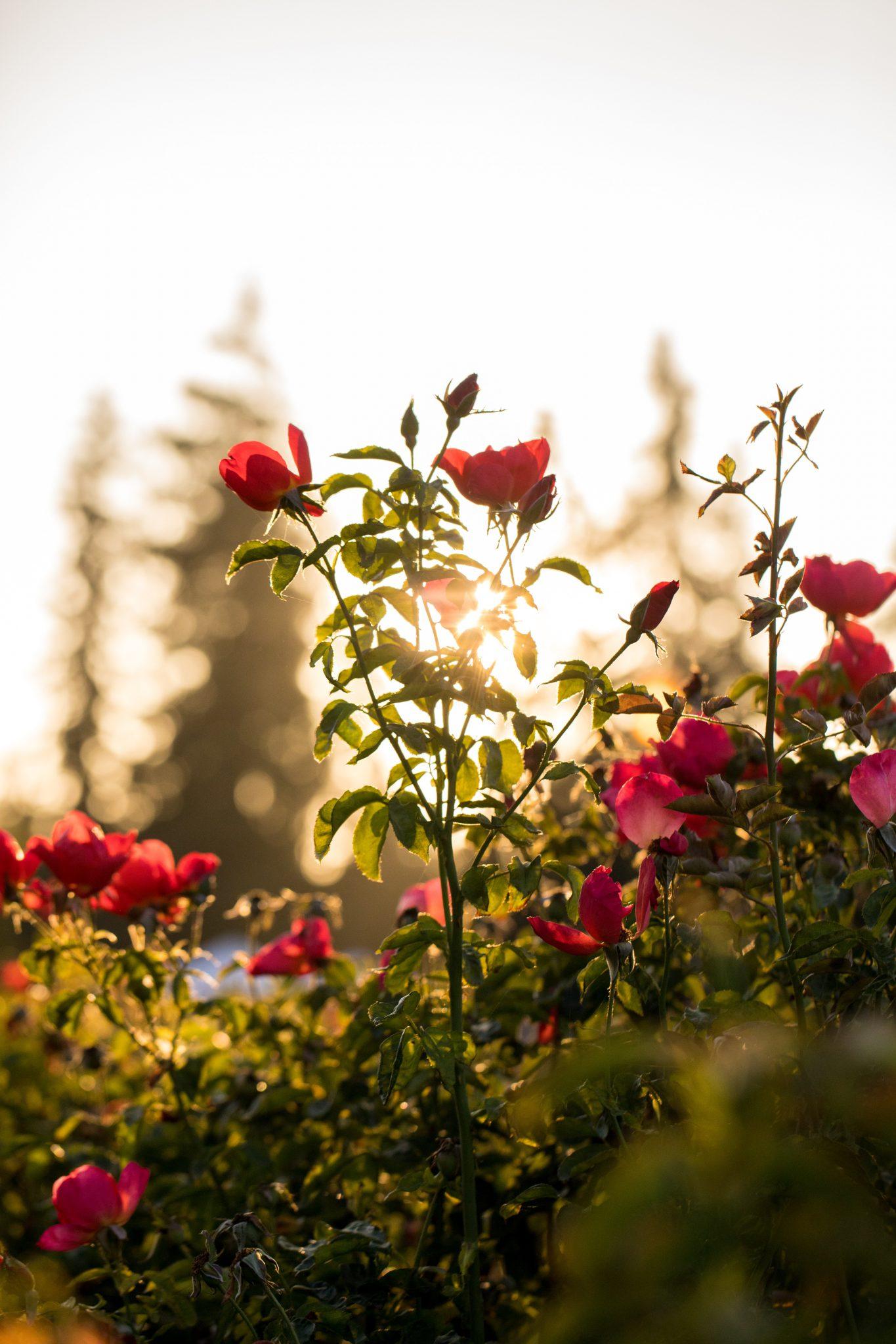 Nếu đã có sẵn hoa trong vườn bạn chỉ cần chọn những bông còn nguyên, ít hư hỏng