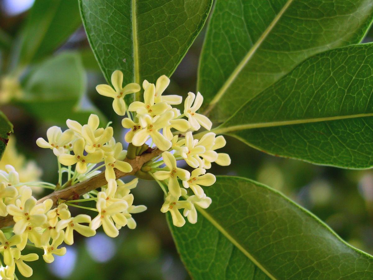 Hoa mộc là loại hoa rất đặc trưng ở phương Đông