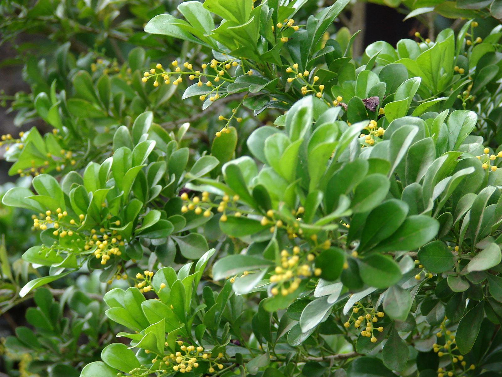 Hoa ngâu thường được dùng nhiều trong việc trang trí nhà cửa và đường xá