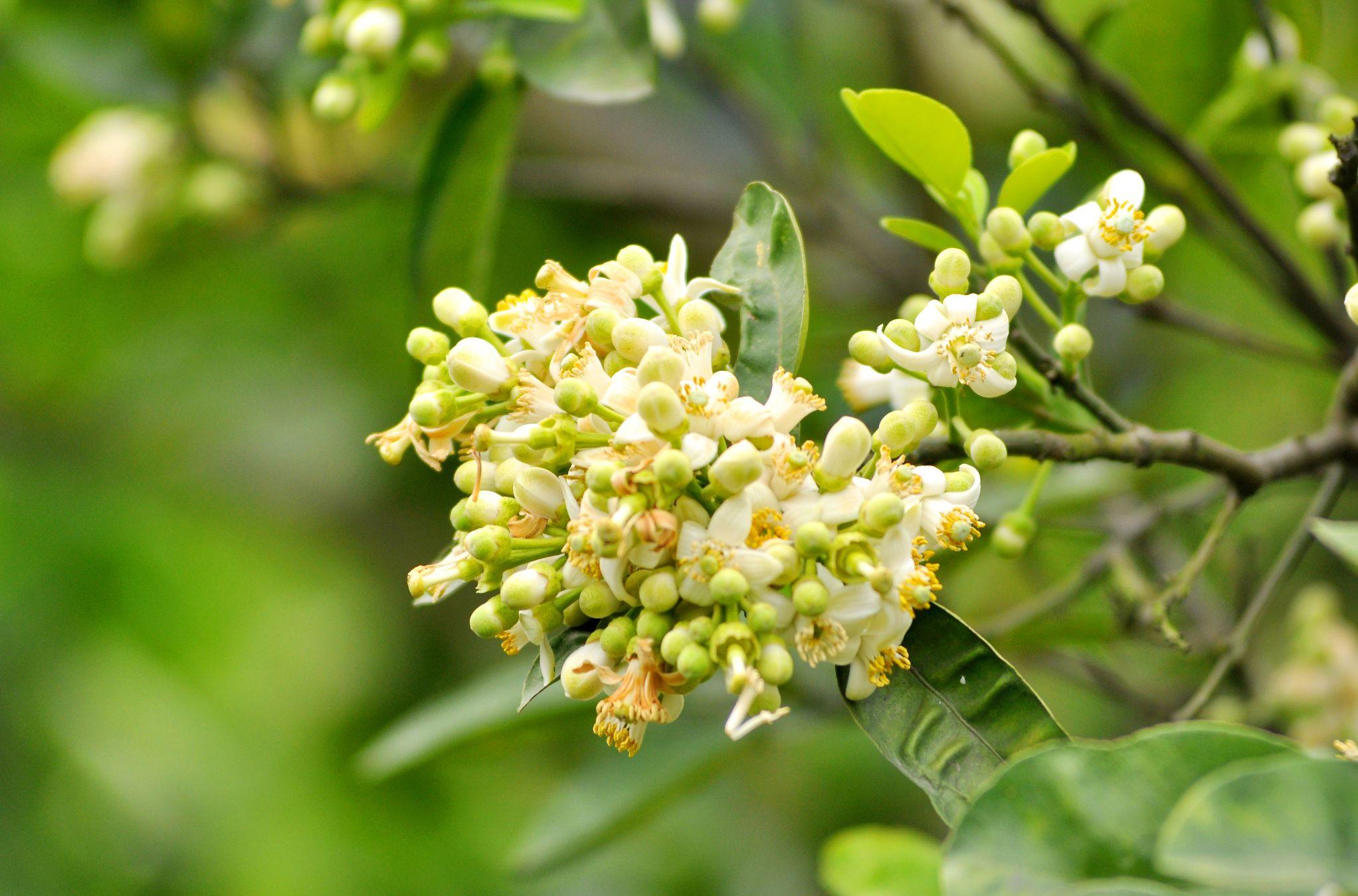 Hoa bưởi là loài hoa rất gần gũi với người dân Việt Nam