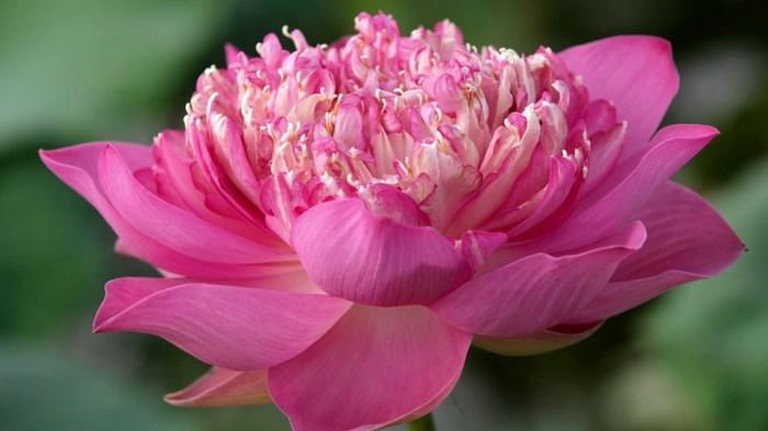 Hoa sen bách diệp (100 cánh) vùng Hồ Tây Hà Nội
