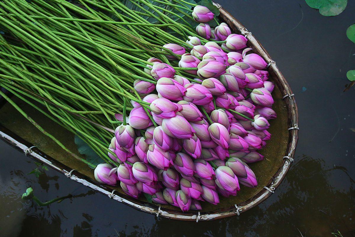 Hoa sen bách diệp ở hồ tây, hái vào lúc 4-5h sáng khi mặt trời chưa mọc và sương vẫn chưa tan.