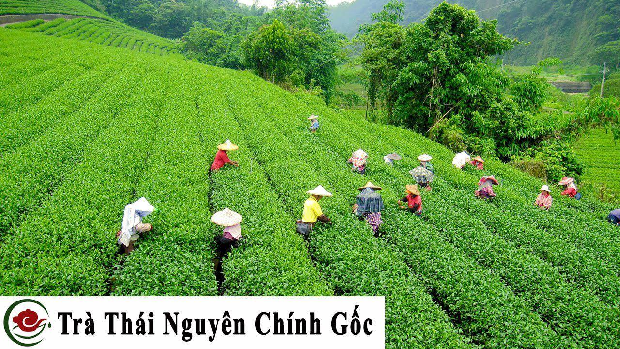 Vùng trà Tân Cương Thái Nguyên phù sa cổ màu mỡ, cây trà phát triển xanh tốt