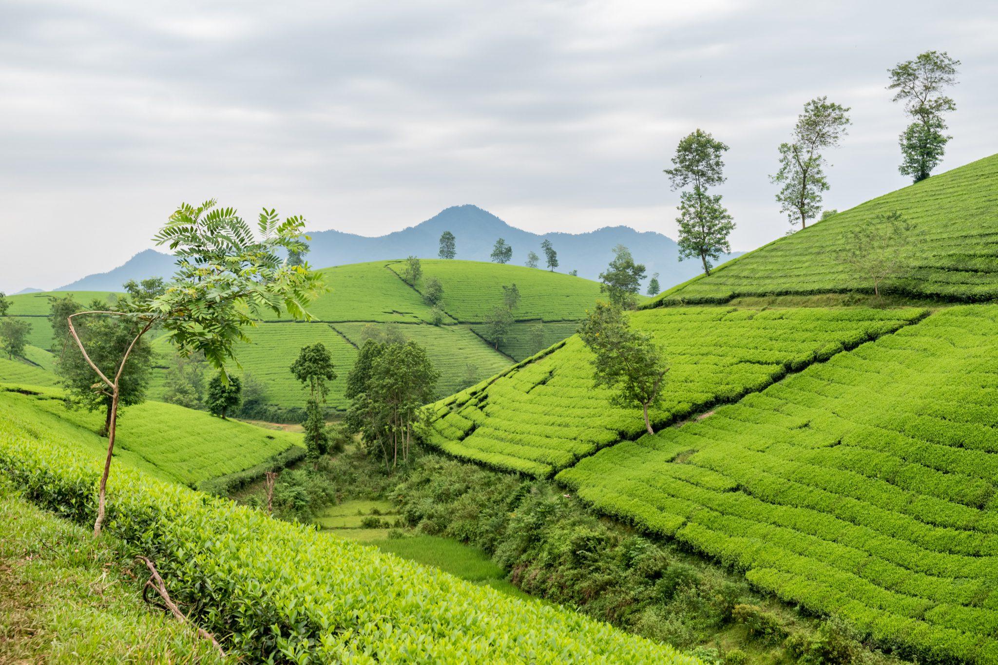 Vùng trồng trà Phú Thọ