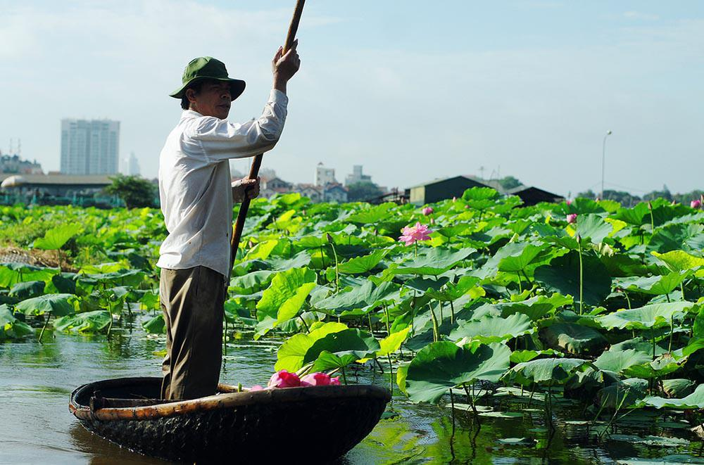 Hồ tây nổi tiếng với những đầm sen bách diệp ngát hương
