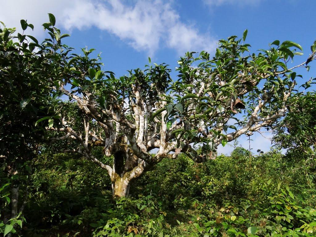 Cây trà cổ thụ trên 300 năm tuổi, đây là cây trà có dược tính rất cao. Khi uống trà shan tuyết có tác dụng giúp cơ thể phòng ngừa được rất nhiều bệnh tật.