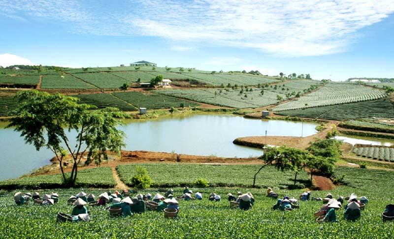 trà ô long Lâm Đồng