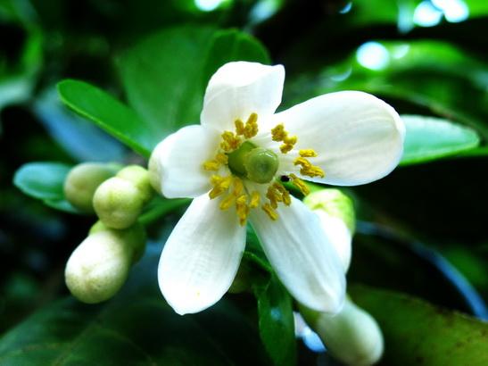 Vẻ đẹp đến từ cấu tạo hài hòa của bông hoa bưởi