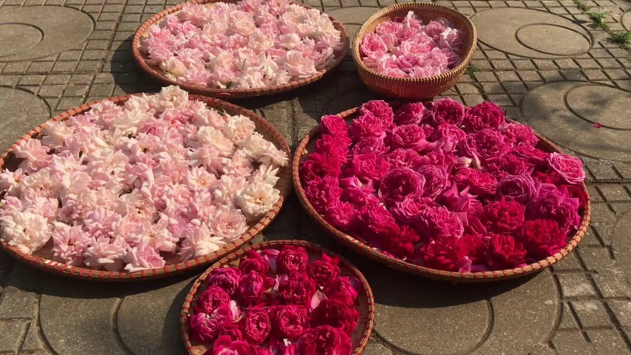 Làm khô hoa hồng bằng ánh nắng mặt trời là phương pháp đơn giản nhất