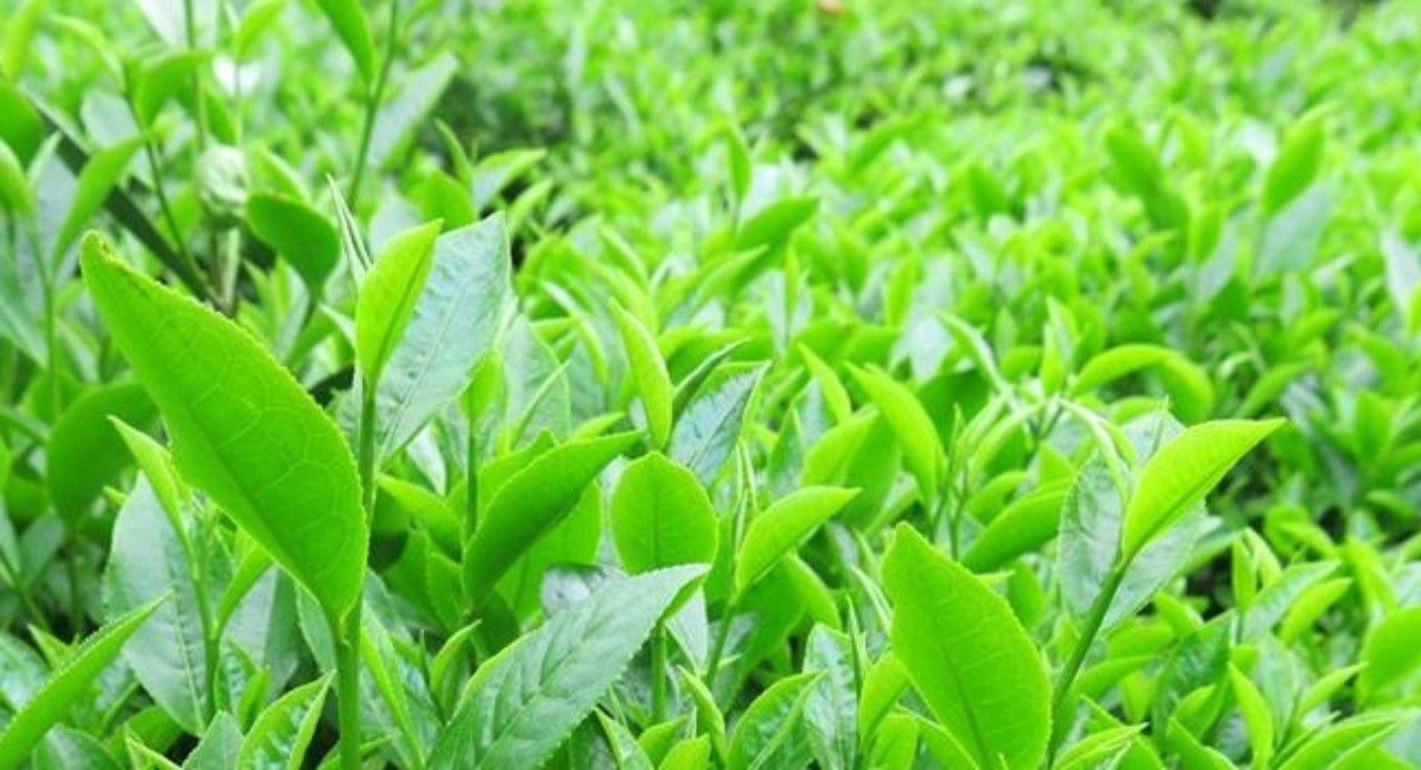Chè Phúc Vân Tiên (giống chè lai Trung Hoa) được trồng tại Thái Nguyên