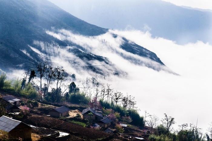 trà shan tuyết Lào Cai