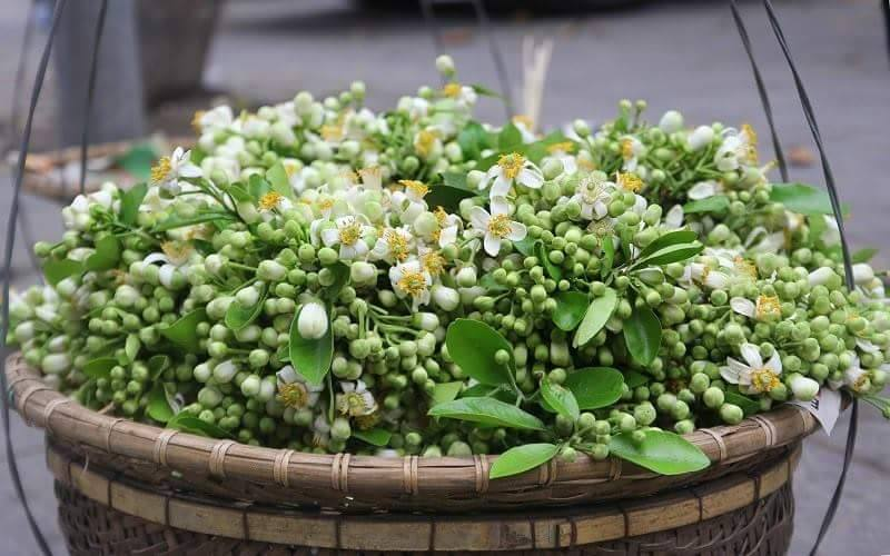 Những bông bưởi vừa chớm nỡ là phù hợp nhất để ướp trà