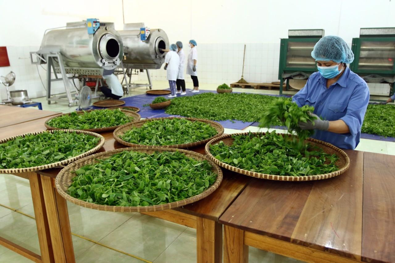 Các cơ sở sản xuất trà hiện này đa phần đều áp dụng dây chuyền công nghê hiện đại đem lại năng suất cao hơn nhưng vẫn đảm bảo được chất lượng trà làm ra