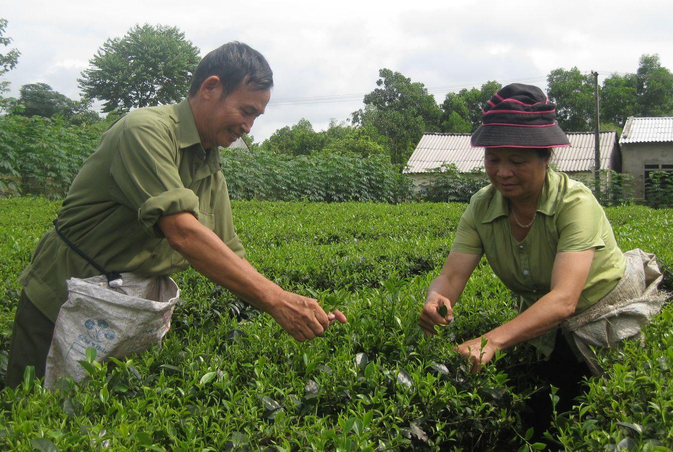 Nhà nước luôn khuyến khích người dân trồng chè theo những tiêu chuẩn an toàn vệ sinh, nâng cao canh tác và chất lượng chè làm ra