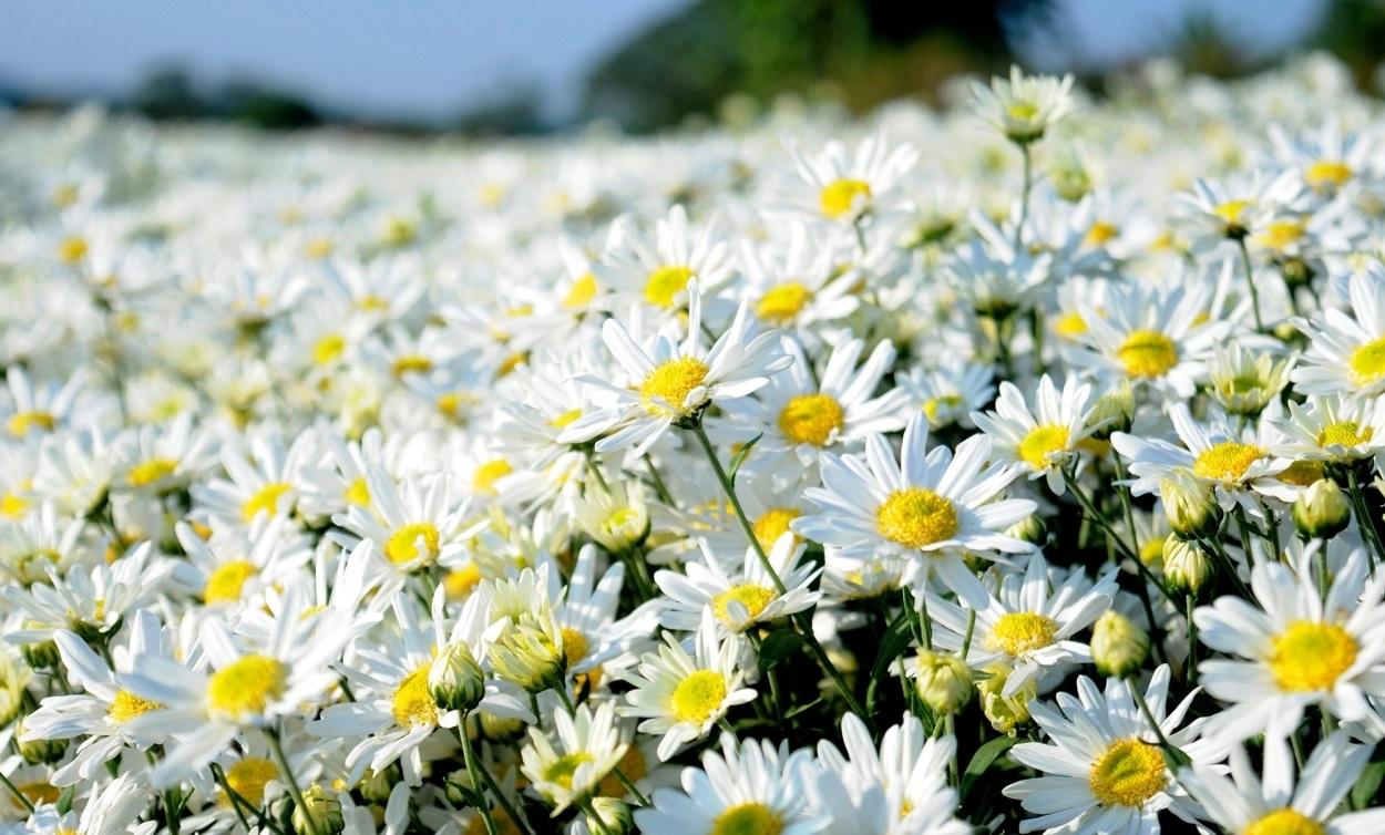 Cúc trắng mang vẻ đẹp hoang dại, tinh khiết
