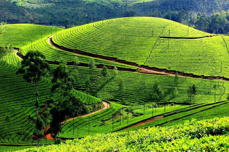 Đồi chè Tân Cương Thái Nguyên xanh mướt - là nơi nổi tiếng chất lượng chè thơm ngon nhất so với các vùng còn lại
