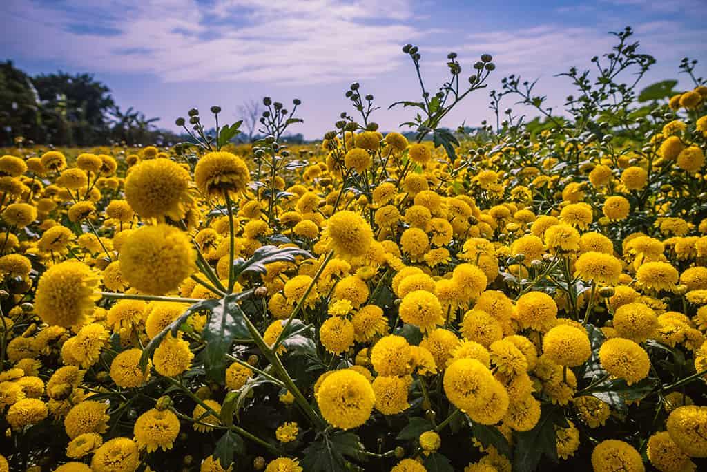 Hoa cúc tượng trưng cho sự trường thọ, trường tồn