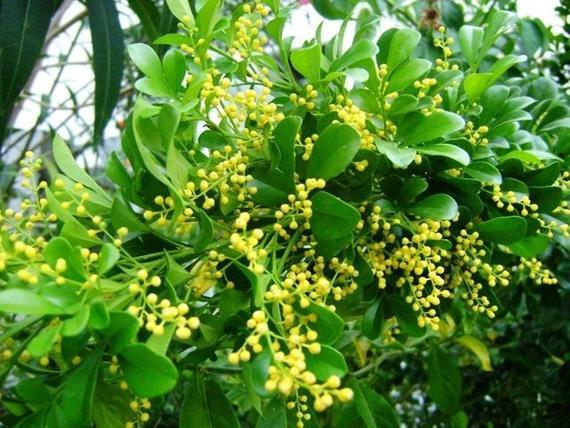 Hoa ngâu nhỏ bé nhưng có rất nhiều lợi ích, từ làm cảnh đến làm thuốc