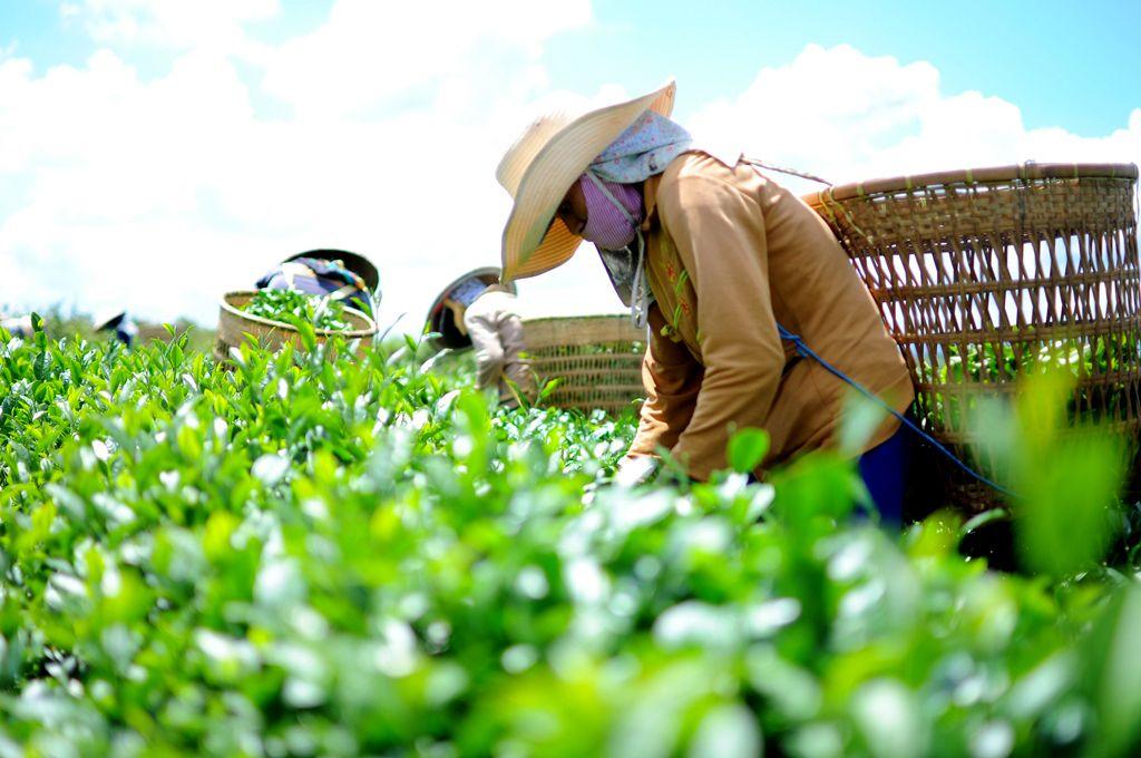 Cây chè thái nguyên là sản vật của quốc gia, gắn bó với đời sống người dân bao đời, là nét văn hóa tươi đẹp mà dân tộc Việt Nam cần phải gìn giữ