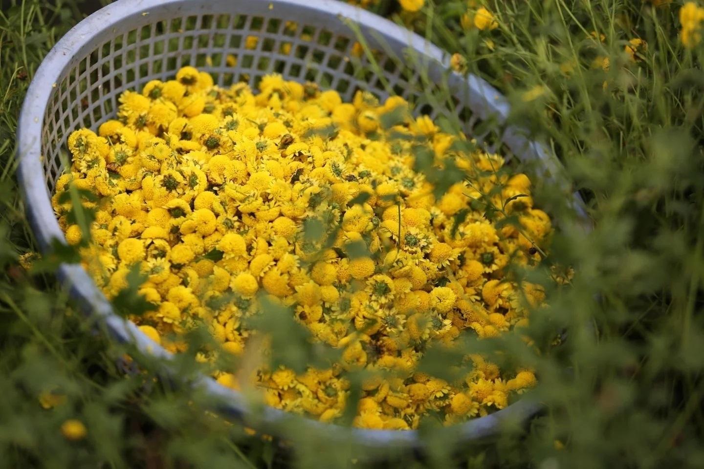 Phơi hoa cúc bằng ánh nắng tự nhiên là phương pháp đơn giản nhất.