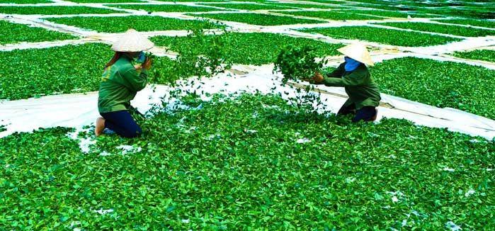 Sản lượng chè thái nguyên măc dù đứng sau Lâm Đồng nhưng chất lượng chè cho ra thì có thể nói không nơi nào sánh bằng