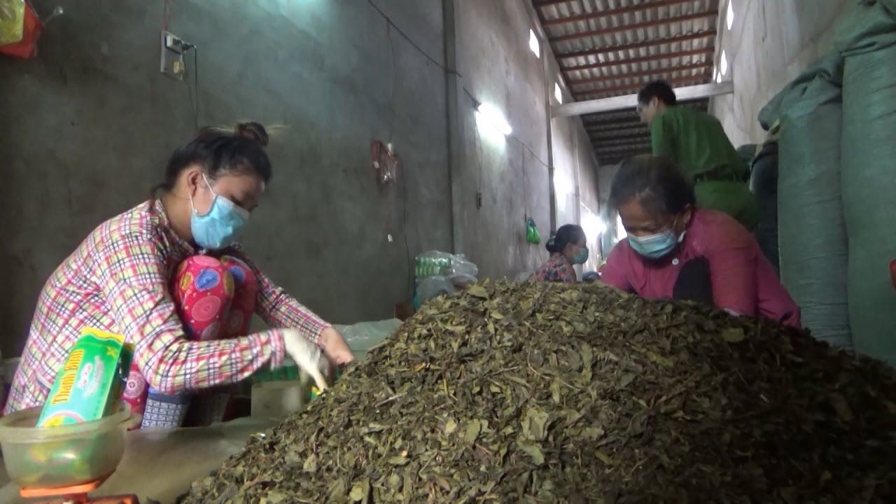 Sản xuất trà bẩn, kém chất lượng, ảnh hưởng sức khỏe người tiêu dùng