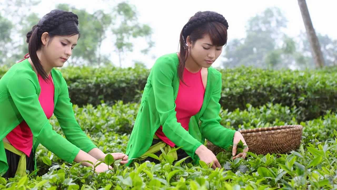 Chè thái gái tuyên quang là câu nói nổi tiếng truyền tai nhau qua từ đời nay sang đời khác để ca ngời vị trà thái nguyên thơm ngon cũng như vẻ đẹp của các cô gái xứ tuyên
