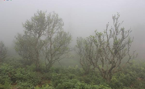 Những cây chè Shan Tuyết Cổ Thụ luôn chìm trong sương mù và không khí lạnh giá quanh năm, bởi vậy trà ở đây có ngoại hình cho đến hương vị đều đặc biệt hơn những sản phẩm trà vùng khác.