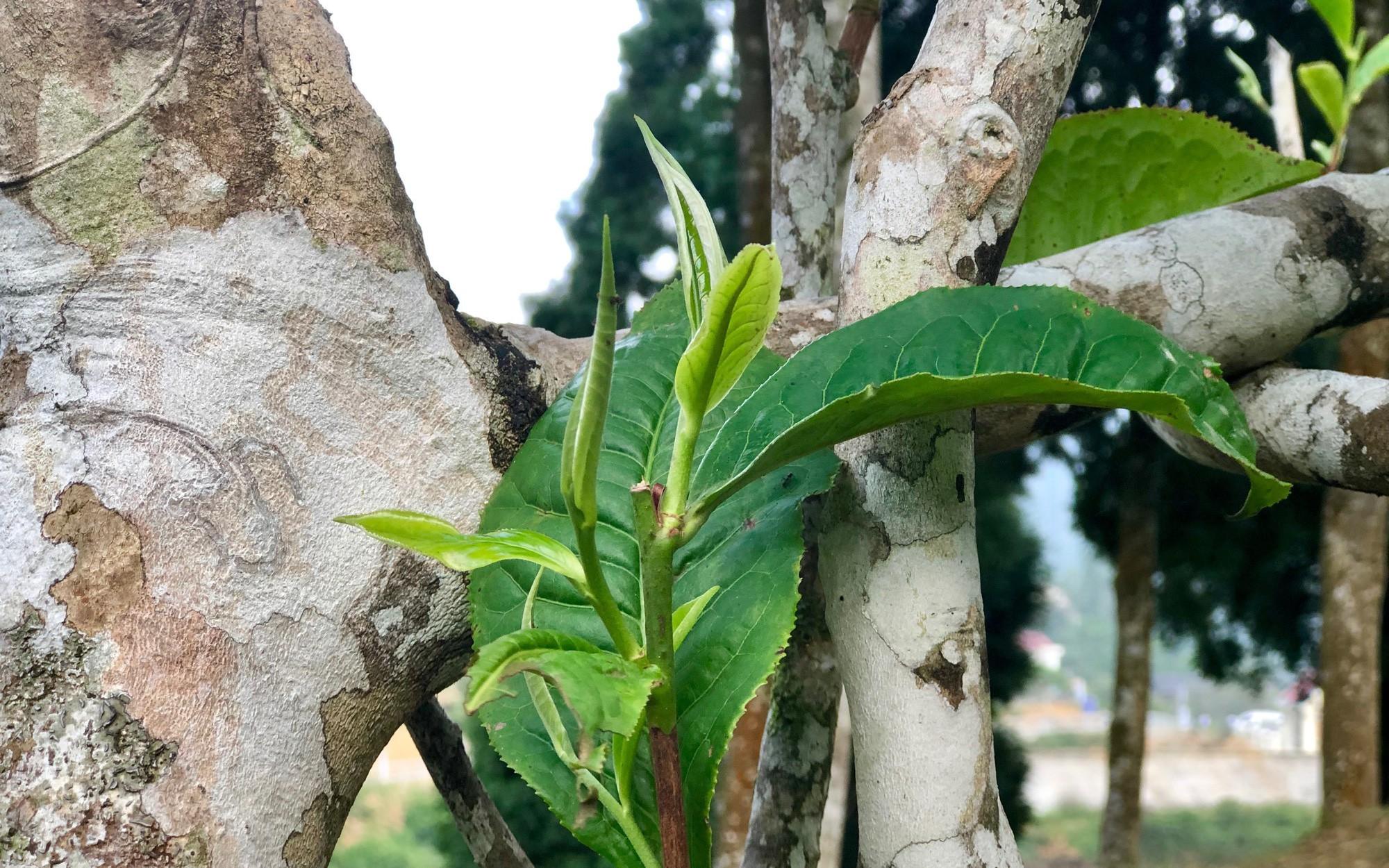 Những cây chè cổ thụ được coi là Thủy Tổ của cây chè trên thế giớ trên 300 năm tuổi nơi đây sống ngang nhiên trên những vách núi hiểm trở