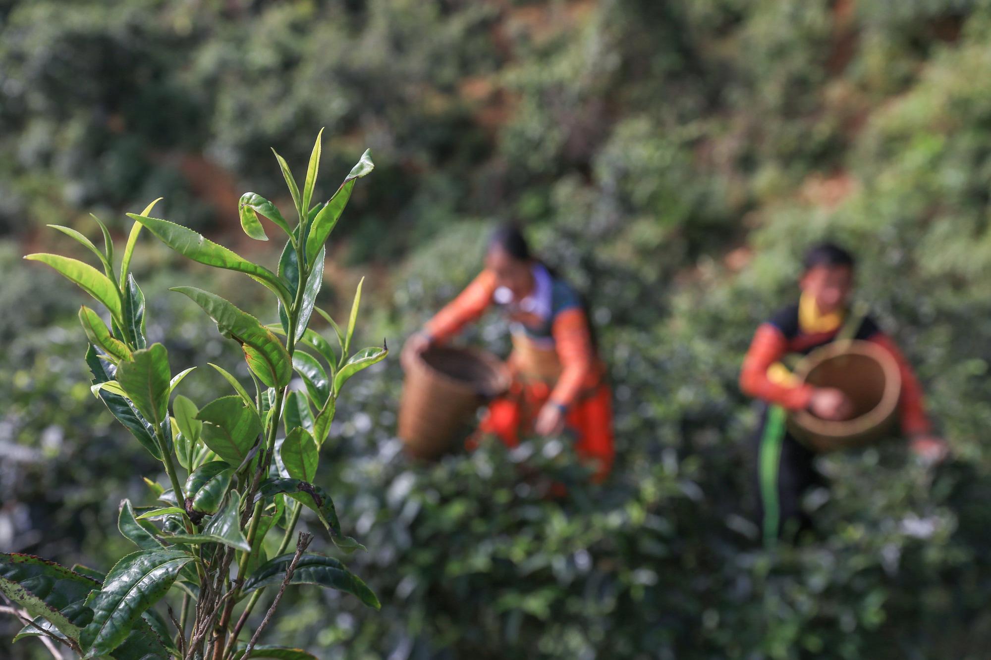 Công việc hái chè là công việc theo mùa vụ, chỉ có mùa xuân và mùa thu, và đây là công việc được coi là khó khăn và hiểm trở nhất trong các công đoạn sản xuất trà.