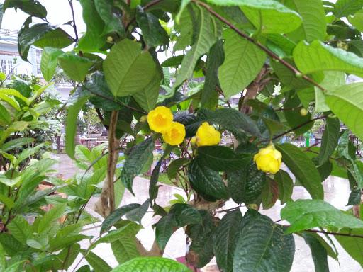 trà hoa vàng thường mọc thành bụi nhỏ