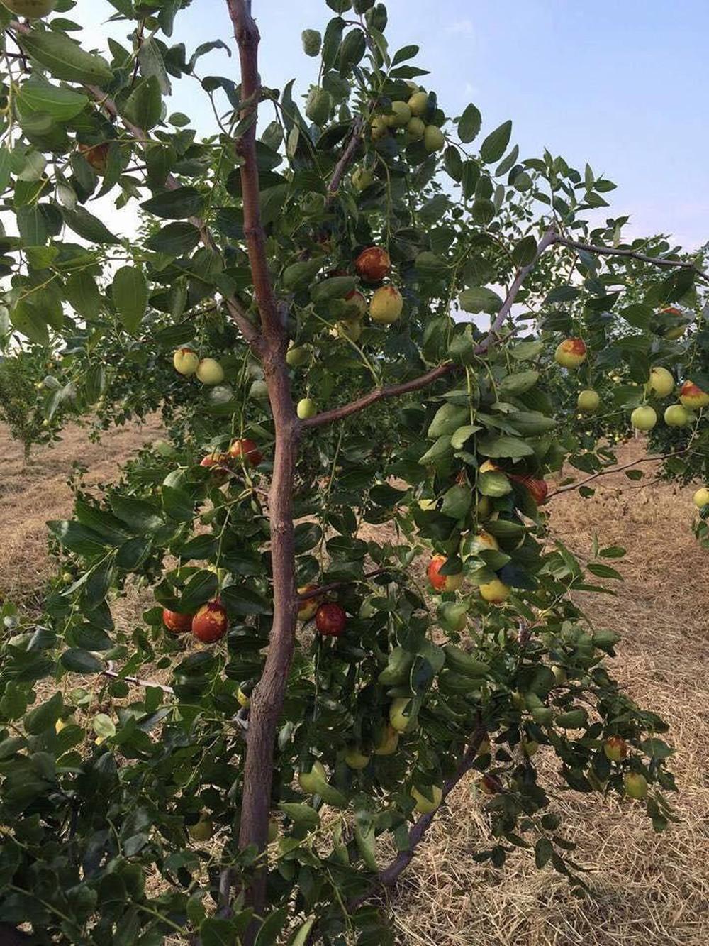 Cây táo đỏ có thể sinh trưởng ở môi trường vô cùng khắc nhiệt.