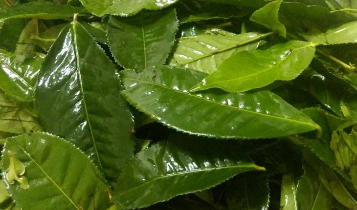 Chọn những lá trà tươi xanh để làm bột trà xanh