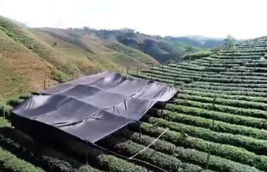 quá trình che lá trà để chuẩn bị nguyên liệu làm bột trà xanh