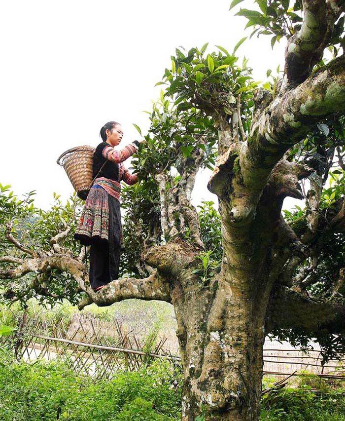 Vân Shan trà Tà Xùa có thân cây to và gốc to