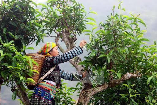 Người dân hái trà trên những cây chè cổ thụ cao lớn