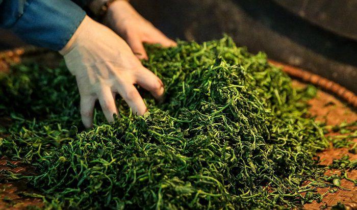 Công đoạn vò trà giúp cánh trà xoăn chắc và định hình cánh trà