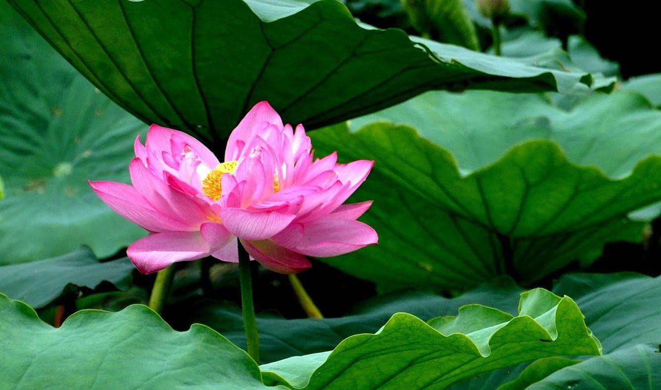 Không đâu có loại trà sen trăm cánh như ở Hồ Tây Hà Nội