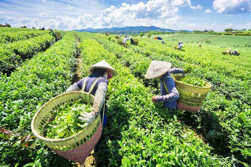 Người dân hái những búp chè Thái Nguyên