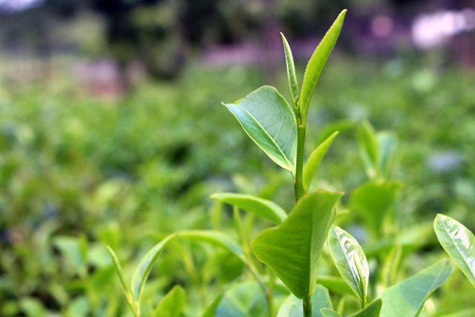 Búp chè Thái Nguyên - Nguyên liệu tạo ra các sản phẩm trà Thái Nguyên thượng hạng